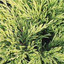White Cedar 2-Docht 254g